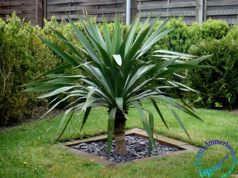 Yucca Palme Wohnzimmer : Yucca Palme Pictures