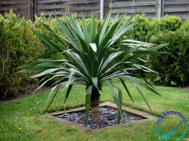 wohnzimmer palme schneiden:Yucca Palme Pictures